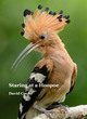 Image for Staring at a hoopoe